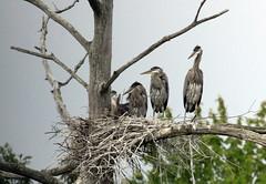 Great Blue Heron family (Laura Erickson) Tags: newyork ithaca greatblueheron ardeaherodias sapsuckerwoods