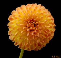 Orange Pom Pom (Vanda's Pictures) Tags: dahlia flowers orange flower macro yellow petals vanda excellence masterphotos