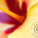 Hibiscus Macrol - Maui, Hawaii by jimgoldstein