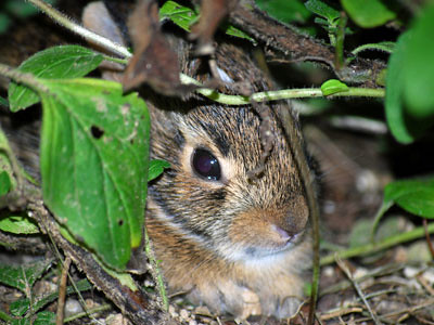 Baby Bunny Under Oregano
