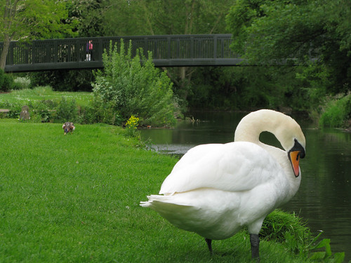 swan at the river