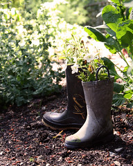 Flower Boots (Digital Webb) Tags: flowers sunlight gardens garden milner boots planters young growth rubberboots kidsboots galloshes milnergardens