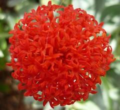 Kleinia amaniensis (Luis Borja) Tags: succulent canarias tenerife canary suculentas crasas kleinia xerojardinería