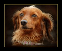 The Dachshund Laws! (*Cristiana*) Tags: dogs nikon dachshund doxie