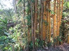 Giant Bamboo Near Goa Gajah