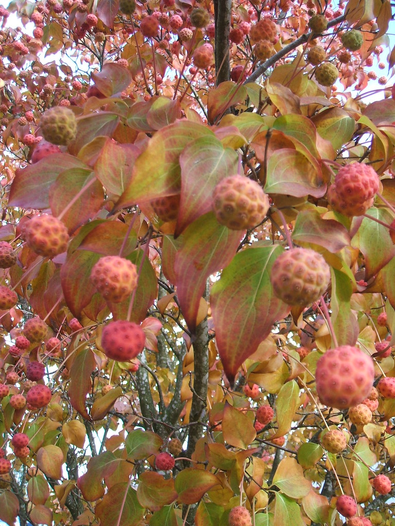 Dogwood fruit in November