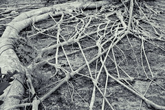 Root system (andrewmalone) Tags: tree root