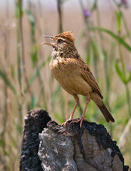 Rufous-naped Lark (Marc_Scott-Parkin) Tags: specanimal