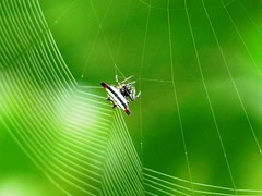 A spider loves its work (kadavoor) Tags: fab india net nature spider working kerala weaving soe zoology naturesfinest spidernet supershot abigfave kadavoor theunforgettablepictures zoologya