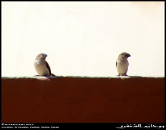 Episode 4: Two Cute Birds on Our Neighbors' Roof in Al Sa'adah, Salalah, Dhofar (Shanfari.net) Tags: mountain mountains bird nature birds lumix al raw natural african small birding panasonic munia inornata oman fz jebel jabal salala zufar rw2 salalah subsp passeriformes subspecies sultanate dhofar  whitethroated khareef   silverbill estrildidae  lonchura   dufar  taqah cantans  lonchuracantans   malabarica  governate saadah ashoor euodice  dhufar subspecie dofar fz38 fz35 dmcfz35   thofar thufar lonchuracantansinornata