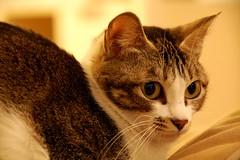 my cat...wah wah (Rosanna Leung) Tags: pet animal cat kitty     wahwah