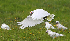 "Long-billed Corella : "" Here I Come !! "" (Clement Tang ** Busy **) Tags: summer nature inflight wildlife parrot australia victoria daisy avian cutthroat birdwatcher longbilledcorella cacatuatenuirostris closetonature westerfoldspark concordians slbflying"