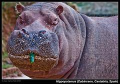Hippopotamus (Parque de la Naturaleza de Cabrceno, Cantabria, Spain) (Juan C Ruiz) Tags: parque espaa naturaleza fauna spain hippopotamus santander cantabria hipopotamo mamiferos pepino cabarceno mammalians