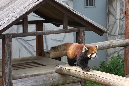 お散歩で~す / Lesser panda