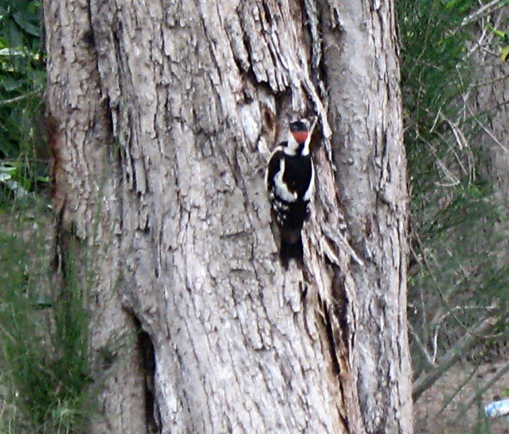 20-05-2011-syrian-woodpecker2
