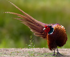 Male Pheasant Displaying (Oliver C Wright) Tags: pheasant rspb