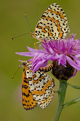 Mlite orange (Melitaea didyma) Spotted Fritillaries (Sinkha63) Tags: france macro nature butterfly wildlife lepidoptera papillon corrze fritillary protected limousin beynat insecta nymphalidae centaureajacea spottedfritillary melitaeinae melitaeadidyma melitaea mlite melitaeini didymaeformiadidyma mliteorange redbandfritillary centaurejace onlythebestofnature centaureajaceasubspgrandiflora