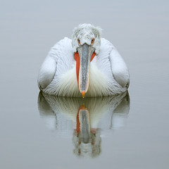 Reflections on an overcast morning (vagabond05) Tags: pelican reflection dalmatianpelican lake kerkini greece