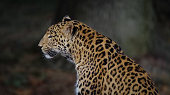 Serenity of a leopard (Franck Zumella) Tags: serenity strength leopard panther panthere force serenité animal sauvage wild dangerous dangereux danger felin power