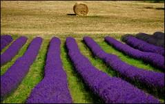 lavanda color (GrazianoA) Tags: flowers italy nature landscape landscapes countryside italia paesaggi paesaggio emiliaromagna lavanda nikond90