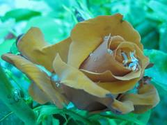 Rosa en Medina (Iñaki Biguri) Tags: flowers white flores blanco blanca rosas iab loreak biguri ibiguri floresblancas zuriak i2ab iñakibiguri photoizarra