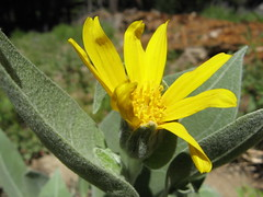 Yellow flower (Kirkwood, California, United States) Photo