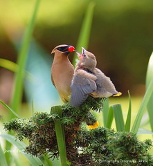 Mother Cedar Waxwing feeding Baby (Photography Designs by Janelle) Tags: illinois cedarwaxwing skokie slbfeedingyoung