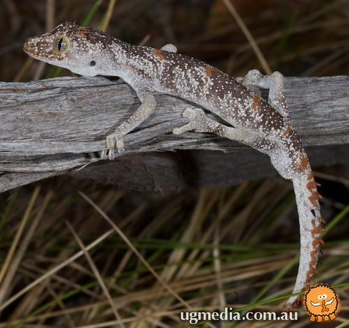 Northern spiny-tailed gecko (Strophurus ciliaris ciliaris)