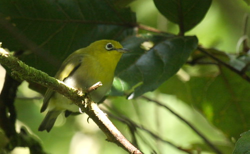 Fiji White eye