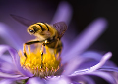 Back of bee-ond (Nikonsnapper) Tags: flower macro nikon rear bee tamron 90mm soe aster michaelmasdaisy d80 alemdagqualityonlyclub ccmac project36612009august explore9august2009120