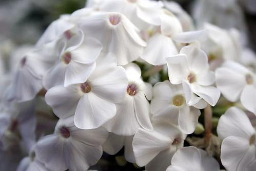 White Phlox 5