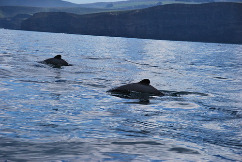 Hector Dolphins - Akaroa - Banks Peninsula  - New Zealand