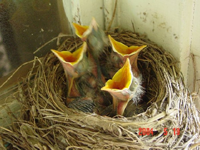 baby-birds-picture