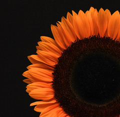 Sunflower (Paul S Mason) Tags: orange flower macro beautiful sunflower legacy superaplus aplusphoto platinumheartaward awesomeblossoms artofimages platinumpeaceaward absolutelyperrrfect flickrvault trolledproud newgoldenseal