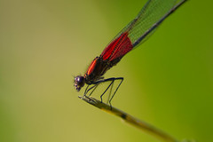 Insectos (chαblet) Tags: macro méxico dragonfly distillery libélula morelos insecto α100 chablet