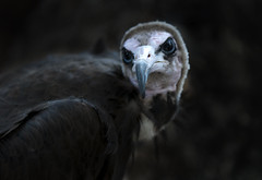 Nice birdie (jasonwilliamsimages) Tags: calgary bird zoo eyes outdoor stare prey vulture scavenger hunched