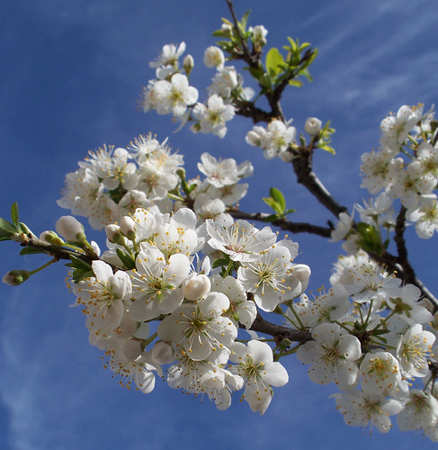 Plum Tree Flowers by katiealley on Flickr