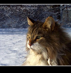 Nicky in the Snow (Skyelyte) Tags: winter pet snow cold yard cat fur bush woods pretty shed fluffy whiskers attitude nicky mainecooncat globalvillage2 1stplacecontestwinner