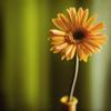 A Flower ({ sheila }) Tags: flower texture 50mm nikon gerbera d300 nikkor50f14 florabella krishlikesit sheilaparas