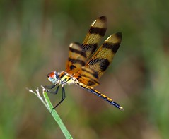 Tiger (ChinaLeft) Tags: macro nature dragonflies dragonfly ngc insects bugs soe pennants naturesfinest halloweenpennant supershot mywinners abigfave platinumphoto impressedbeauty 100commentgroup mygearandme