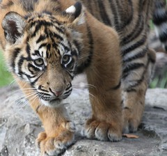 Sumatran Tiger Cub (Gary's Photos!!) Tags: ireland dublin nature animal canon eos zoo cub wildlife tiger bigcat panther sumatran tigercub dublinzoo 100400l 50d ef14x emaswanita
