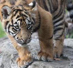 Sumatran Tiger Cub (Gary Wilson  ) Tags: ireland dublin nature animal canon eos zoo cub wildlife tiger bigcat panther sumatran tigercub dublinzoo 100400l 50d ef14x emaswanita