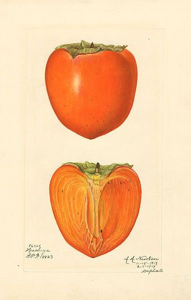 Persimmon Amanda Newton Watercolor 1887