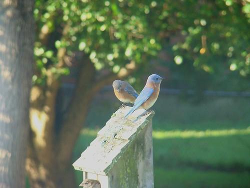 Eastern Bluebird 10-19-09 001