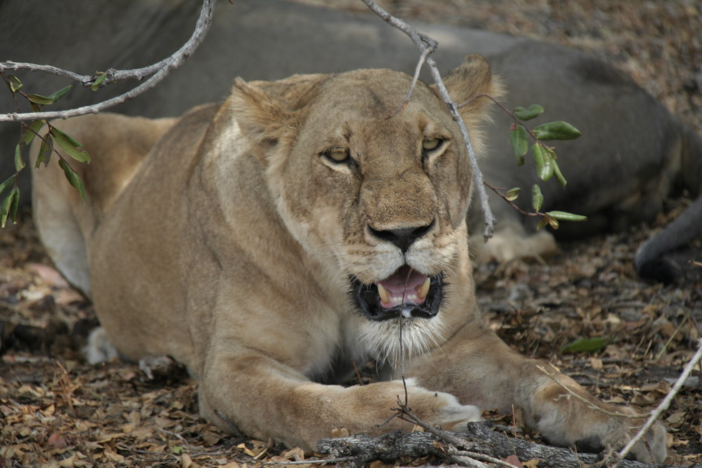 Lioness resting after a kill - Selous Game Reserve, Tanzania