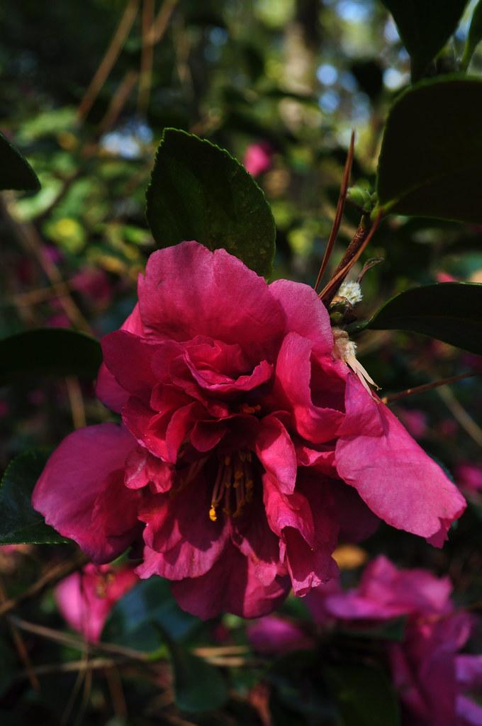 Camellia x hiemalis 'Bonanza' 1