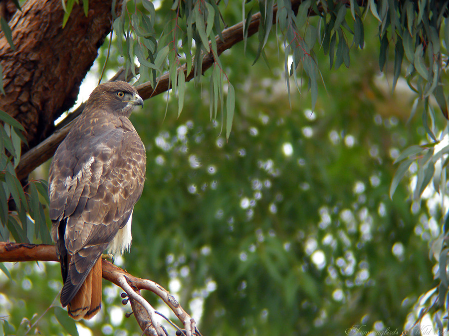 Red-tailed Hawk 010901