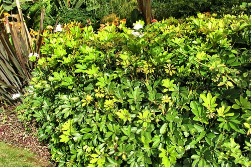 Schefflera arboricola (rq) - 02