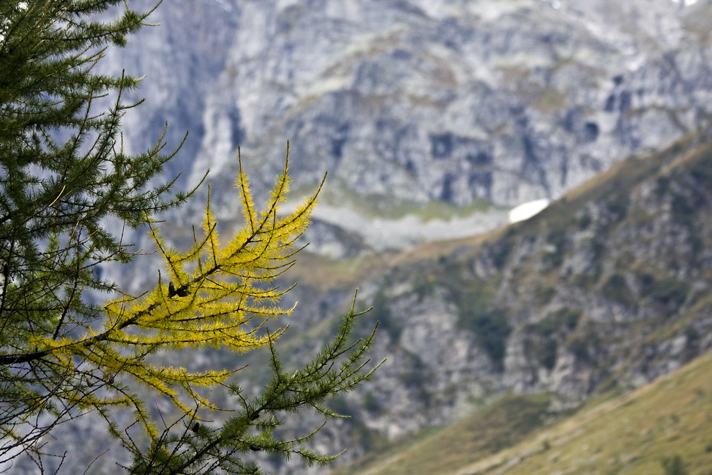 Larch Branch #2