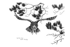 Spotted Owl 8/2/81 (evtkw) Tags: pen ink drawing owl spottedowl owldrawing evtkw